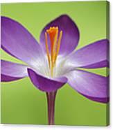 Dutch Crocus Crocus Vernus Flower Canvas Print