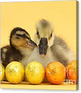 Embden X Greylag Gosling And Mallard Canvas Print