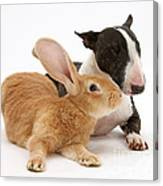 Flemish Giant Rabbit And Miniature Bull Canvas Print