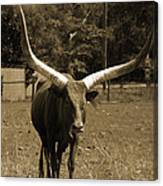 Florida Longhorn Canvas Print