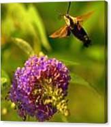 Georgian Moth Canvas Print