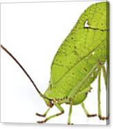 Giant Leaf Katydid Barbilla Np Costa Canvas Print