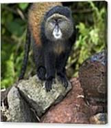 Golden Monkey Canvas Print