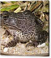 Gopher Frog Canvas Print