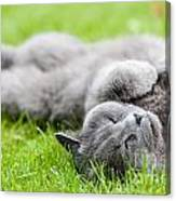 Gray Cat  Canvas Print