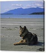 Gray Wolf On Beach Canvas Print