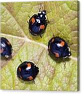 Harlequin Ladybirds Canvas Print
