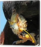 Harris Hawk Feeding Canvas Print