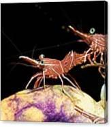 Hingebeak Shrimp On A Seasquirt Canvas Print