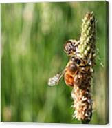2 Honey Bees Hard At Work Canvas Print