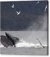 Humpback Whale Megaptera Novaeangliae Canvas Print