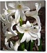 Hyacinth Named Aiolos Canvas Print