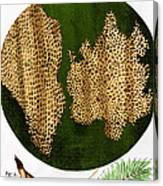 Illustration Of Cork Wood Cells Canvas Print