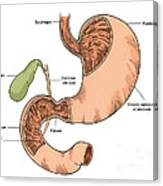 Illustration Of Stomach And Duodenum Canvas Print