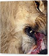 Lion Feeding Canvas Print