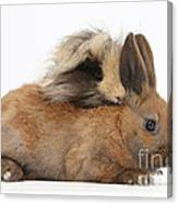 Long-haired Guinea Pig And Young Rabbit Canvas Print