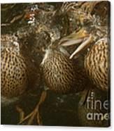 Mallard Ducks Underwater Canvas Print