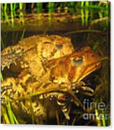 Mating Toads Canvas Print