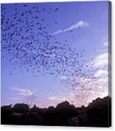 Mexican Freetail Bats Canvas Print