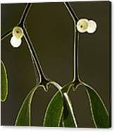 Mistletoe (viscum Album) Canvas Print
