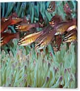 Moluccan Cardinalfish Canvas Print