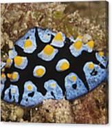 Nudibranch Feeding On Algae, Papua New Canvas Print