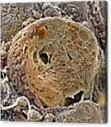 Pancreas Cell, Sem Canvas Print