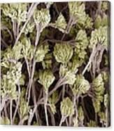 Penicillium Fungus, Sem Canvas Print