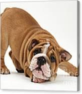 Playful Bulldog Pup Canvas Print