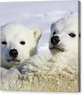 Polar Bear Ursus Maritimus Three Canvas Print