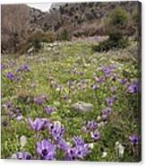 Poppy Anemone Flowers (anemone Coronaria) Canvas Print