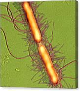 Proteus Vulgaris Bacteria, Sem Canvas Print