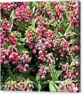 Pulmonaria Named Raspberry Splash Canvas Print