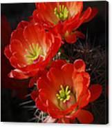 Red Hedgehog  Canvas Print