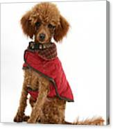 Red Toy Poodle Canvas Print