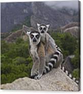 Ring-tailed Lemur Lemur Catta Mother Canvas Print