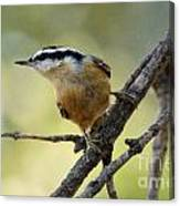 Rose Breasted Nuthatch Canvas Print
