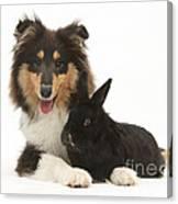 Rough Collie With Black Rabbit Canvas Print