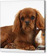 Ruby Cavalier King Charles Spaniel Pup Canvas Print
