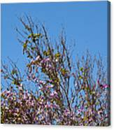 Saucer Magnolia Or Tulip Tree Magnolia X Soulangeana Canvas Print