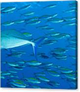 School Of Wide-band Fusilier Fish Canvas Print
