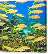 School Of Yellowfin Goatfish Canvas Print