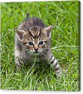 Small Kitten In The Grass Canvas Print