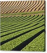 Spinach Crop Canvas Print