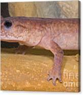 Spring Salamander Canvas Print