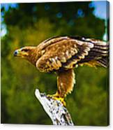 Steppe Eagle Canvas Print
