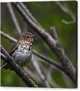 Swainsons Thrush Canvas Print