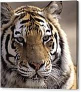 Tiger, Qinhuangdao Zoo, Hebei Province Canvas Print