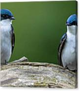 Tree Swallows Canvas Print