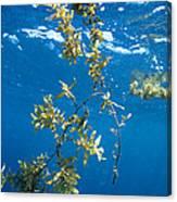 Tropical Seaweed Canvas Print